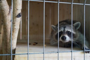Racoon in zoo